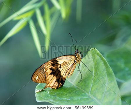 African Swallowtail butterfly (Papilio dardanus)