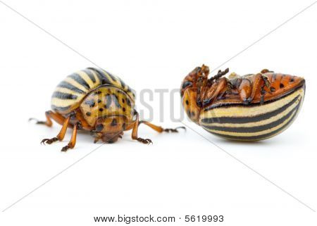 Live And Dead Colorado Potato Beetles