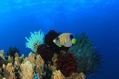 Underwater Coral Reef with Regal Angelfish