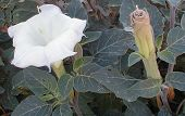 foto of xeriscape  - jimsonweed - JPG