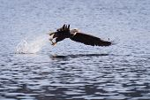 picture of fish-eagle  - American bald eagle fishing in Coeur d - JPG