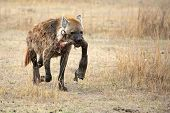 stock photo of hyenas  - Wild hyena with prey - JPG