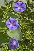 Постер, плакат: Purple And Majenta Morning Glory Flowers