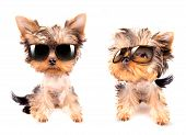 image of sassy  - very angry dog with fashion shades on a white background - JPG
