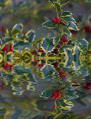 pic of aquifolium  - Ilex aquifolium  - JPG