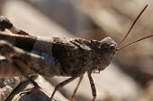 picture of locust  - Brown locust close up full body side view  - JPG