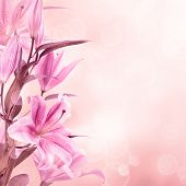 foto of lily  - Pink lilies with copy space - JPG