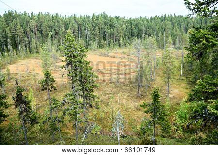 Swamp In Evergreen Forest At Summer