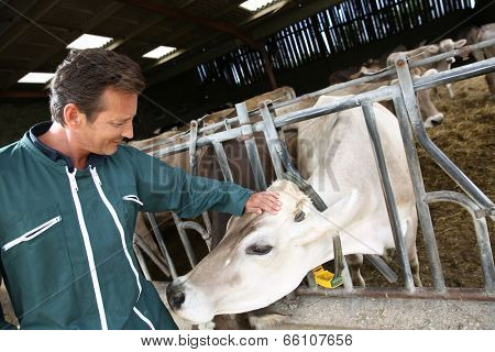 Cheerful farmer petting cow in barn