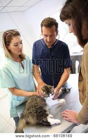 Veterinarian in clinic checking on cat health
