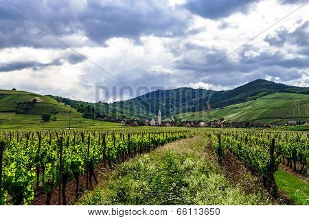 Vivid Colors Of Vineyards