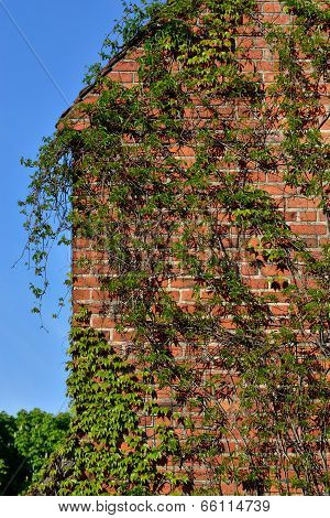 Common Ivy (hedera Helix) On A Ancient  Brick Wall