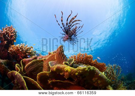 Underwater shot of Lionfish over vivid coral reef