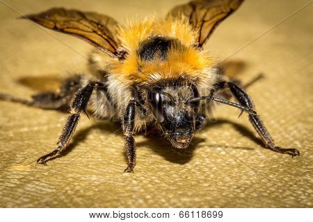 Bumblebee on the tablecloth