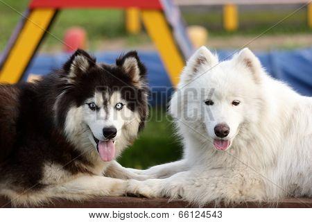 Siberian Husky and Alaskan Malamute