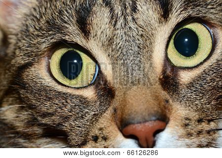 Egyptian Mau cat - looking