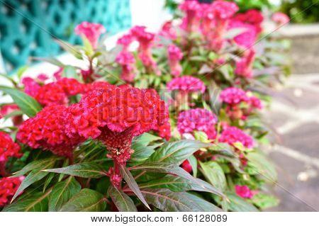 Red Cockscomb In Garden
