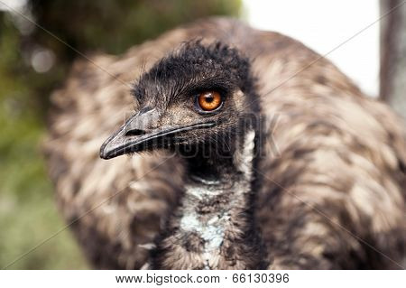 Emu gives the red eye