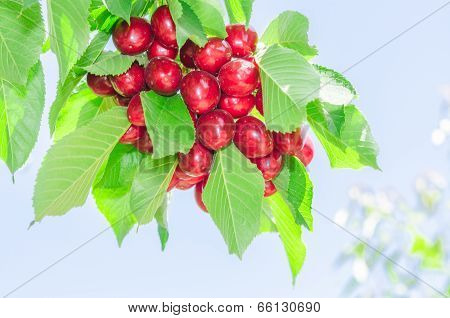 Bunch Of Vivid Red Ripe Cherry Berries On Summer Sunlit Tree Branch