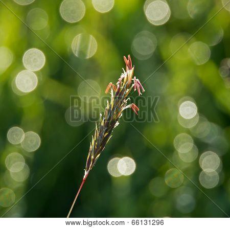 Grass Seedhead