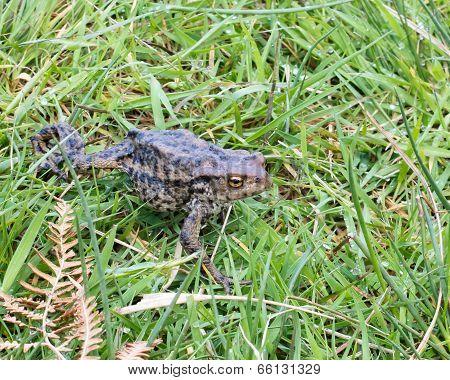 Toad Walking