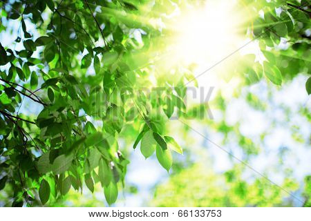 Sun and green leaves. Green leaves on a background of blue sky and sunshine. Sun rays in  green leaves of  trees.