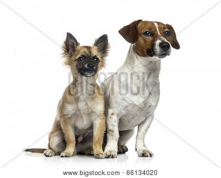 Jack Russell Terrier (1 year old), Chihuahua puppy (5 months old)