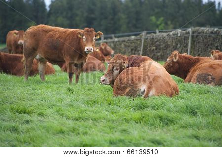 Cows stood and sat in a field