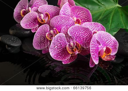 Beautiful Spa Still Life Of Blooming Twig Stripped Violet Orchid (phalaenopsis ) On Zen Stones With