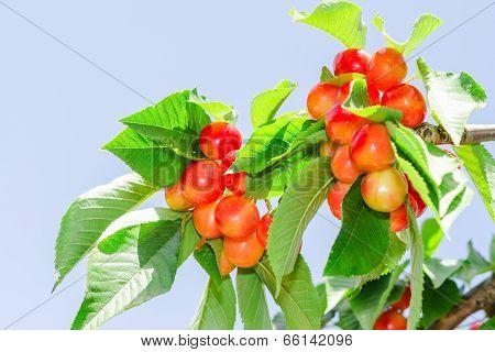 Bright Colored Rainier White Cherry Berry