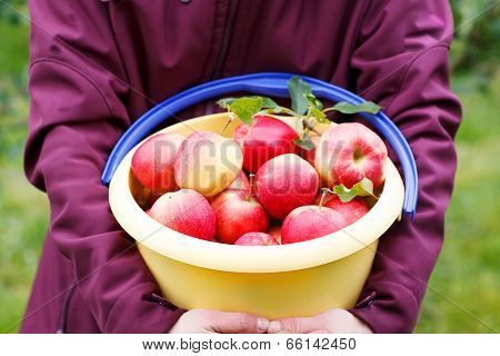 Yellow Bucket With Red Ripe Apples From Orchard .