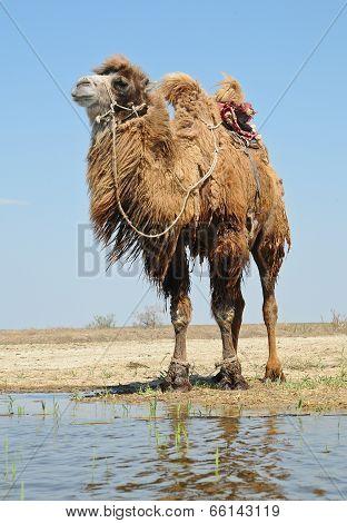 Bactrian Camel Saddled