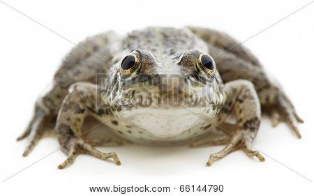 Eurasian marsh frog Pelophylax ridibundus isolated on white background