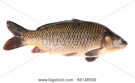 Close up of carp fish.
