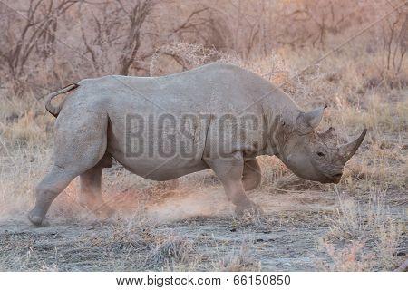 Blurred Rhino running