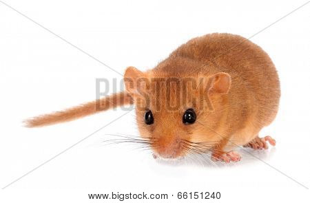 Common hazel dormouse