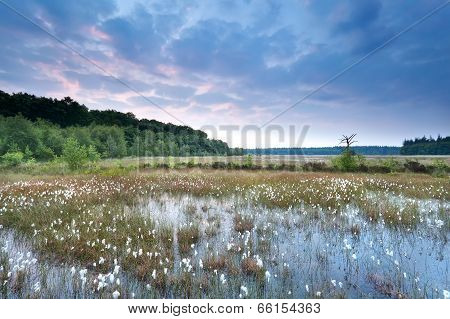Sunrise Over Swamp With Cotton Grass