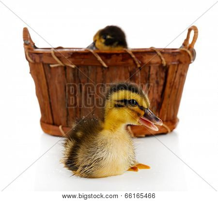 Little cute ducklings in basket isolated on white