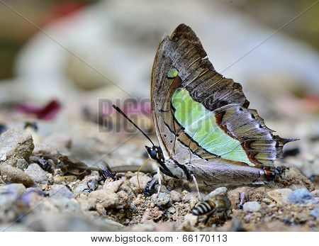 Beautiful Common Nawab Butterfly In Nature Environment With Sharp Details