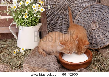 Cute little red kittens drinking milk on barn wall background