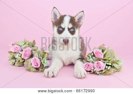 Preety Husky Puppy