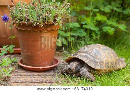 Pet Tortoise