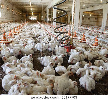 Poultry Farm.