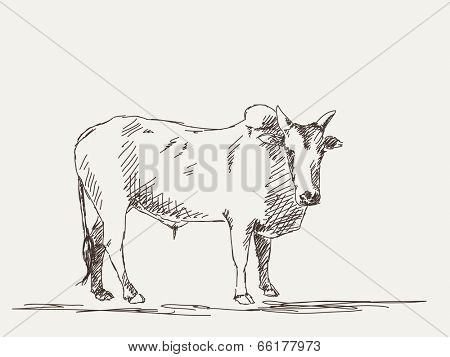 Zebu cow, Hand drawn sketch, Vector illustration