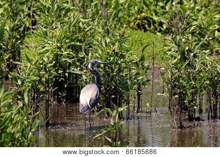 Tricolored or Louisiana Heron
