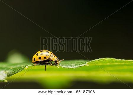 Yellow Ladybug On Green Leaf