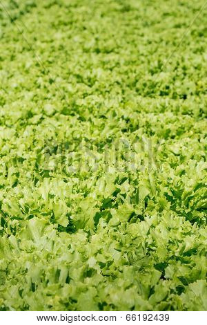 Organic Cultivation Of Endive