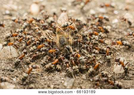 Ants Swarm Eating Dead Bee