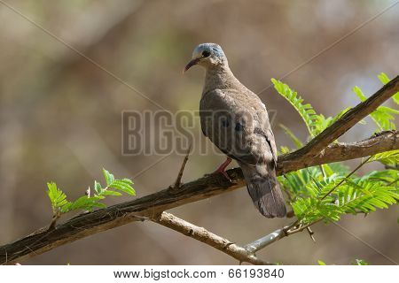 Blue-spotted Wood Dove (turtur Afer) Perched On A Branch