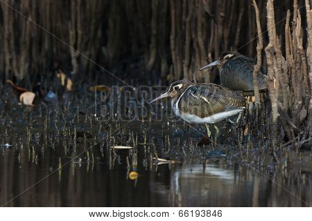Female Greater Painted Snipe (rostratula Benghalensis) Standing Amongst Mangrove Shoots